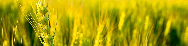 Barley crop sown in field