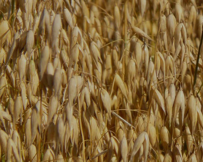 Oats crops sown in field