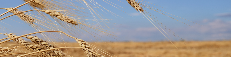 barley sown in field